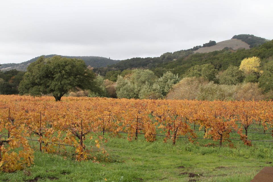 Fall Vineyards in Kenwood in Sonoma Valley