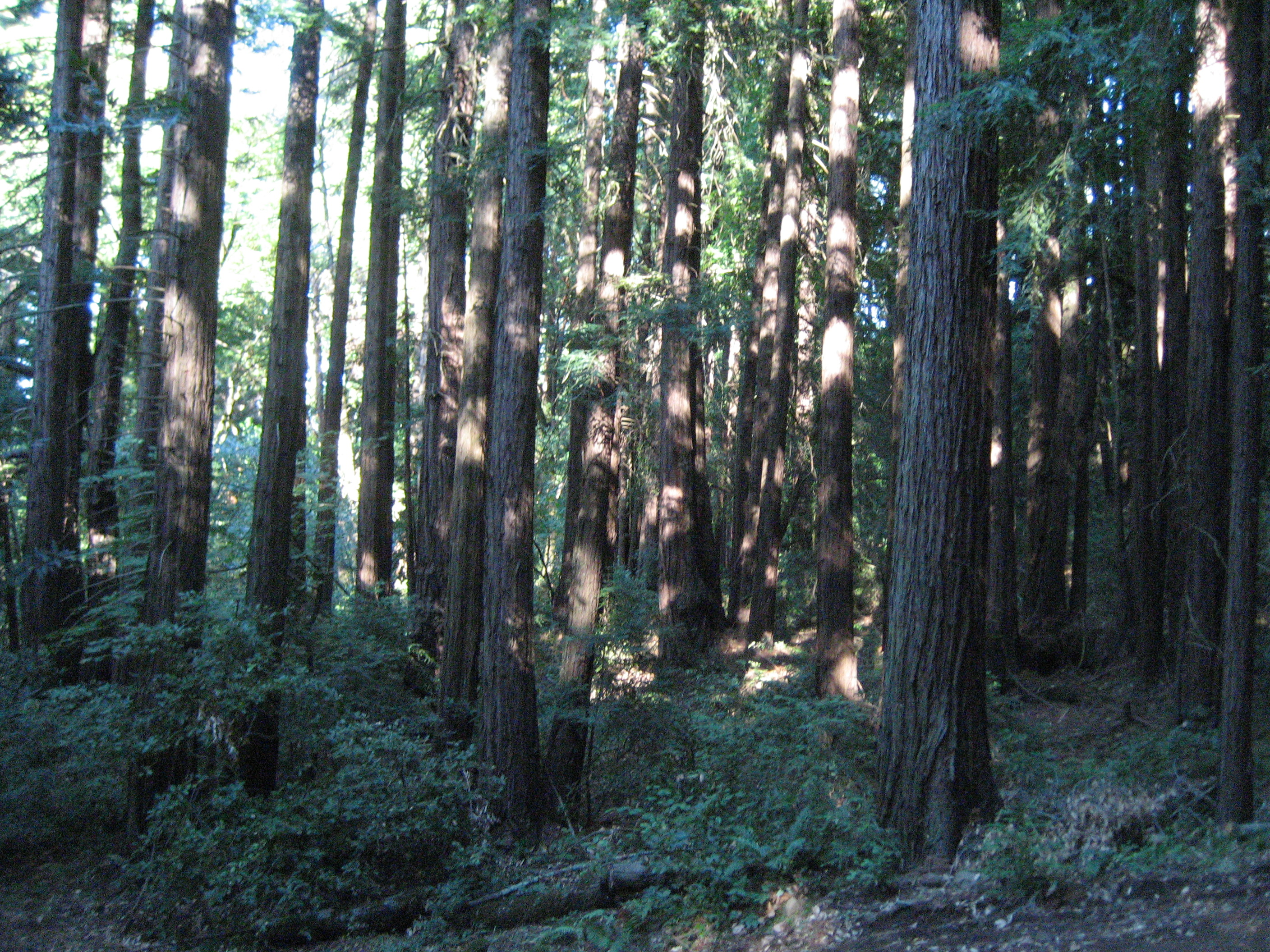 Redwood Trees in Jack London State Park in Sonoma Valley