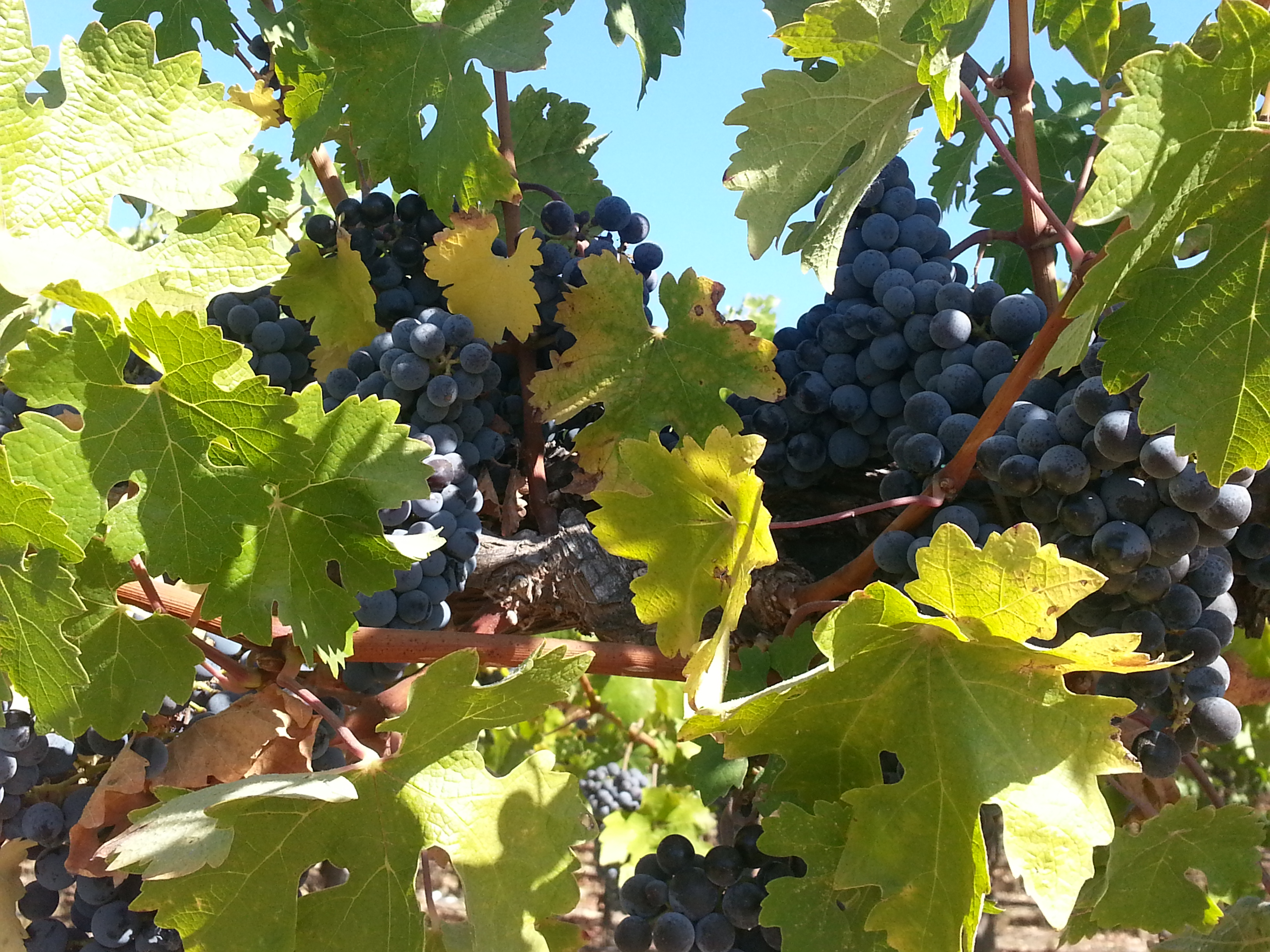 Bunches of grapes on the vine in Wine Country