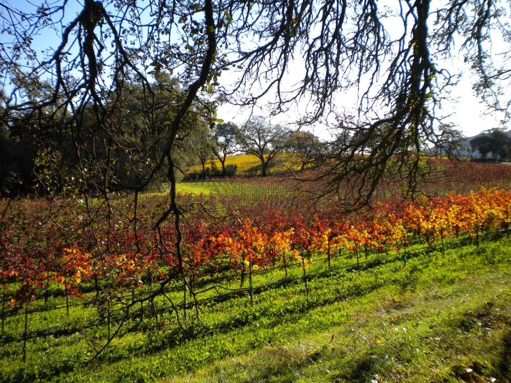 Orange vineyards in the Sonoma Valley during the Fall