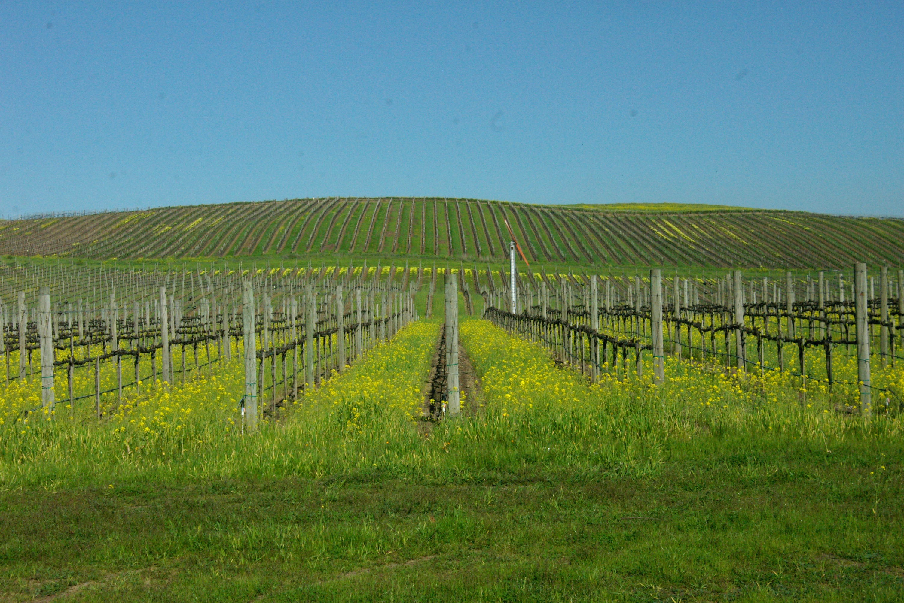 View of Sonoma Valley vineyards during the spring with yellow mustard flowers