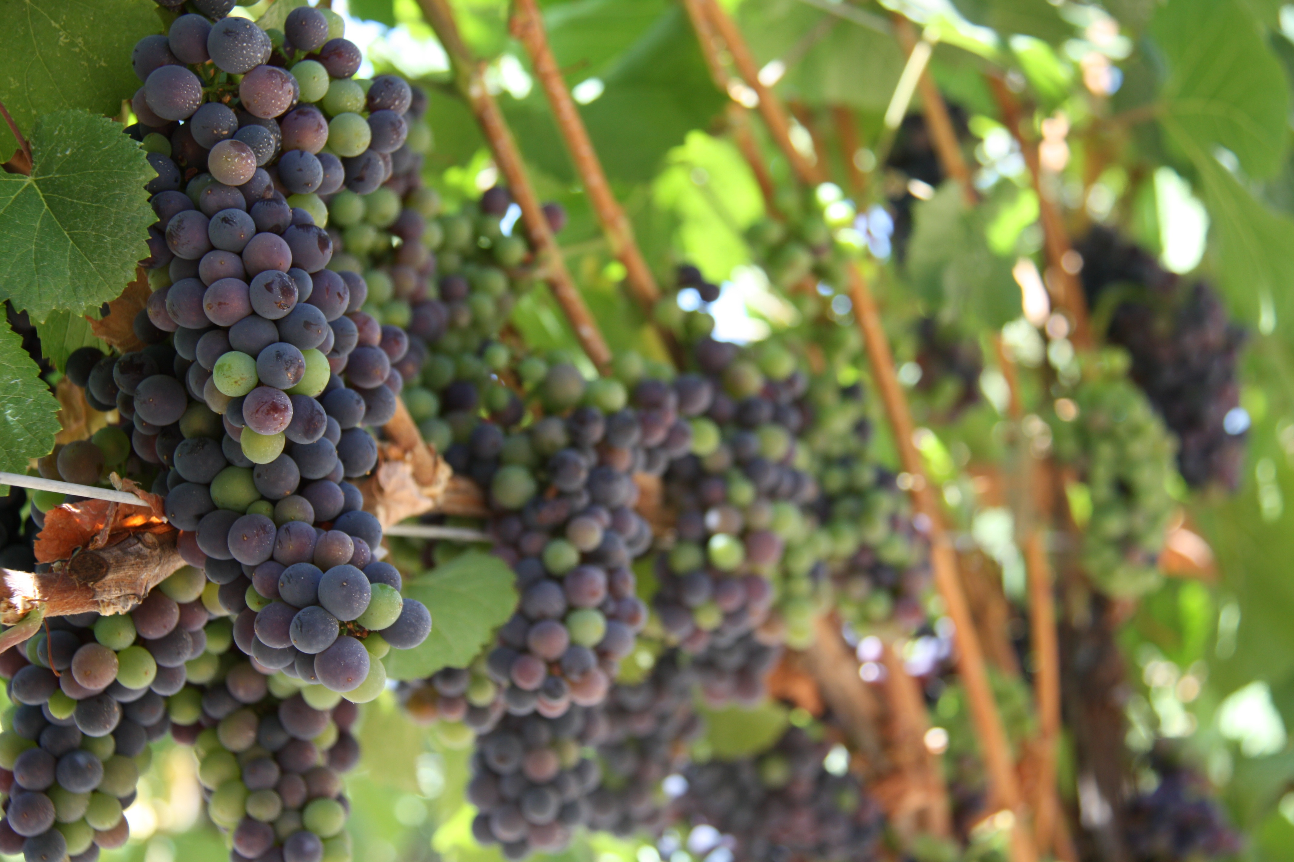 Grapes on vine in Wine Country