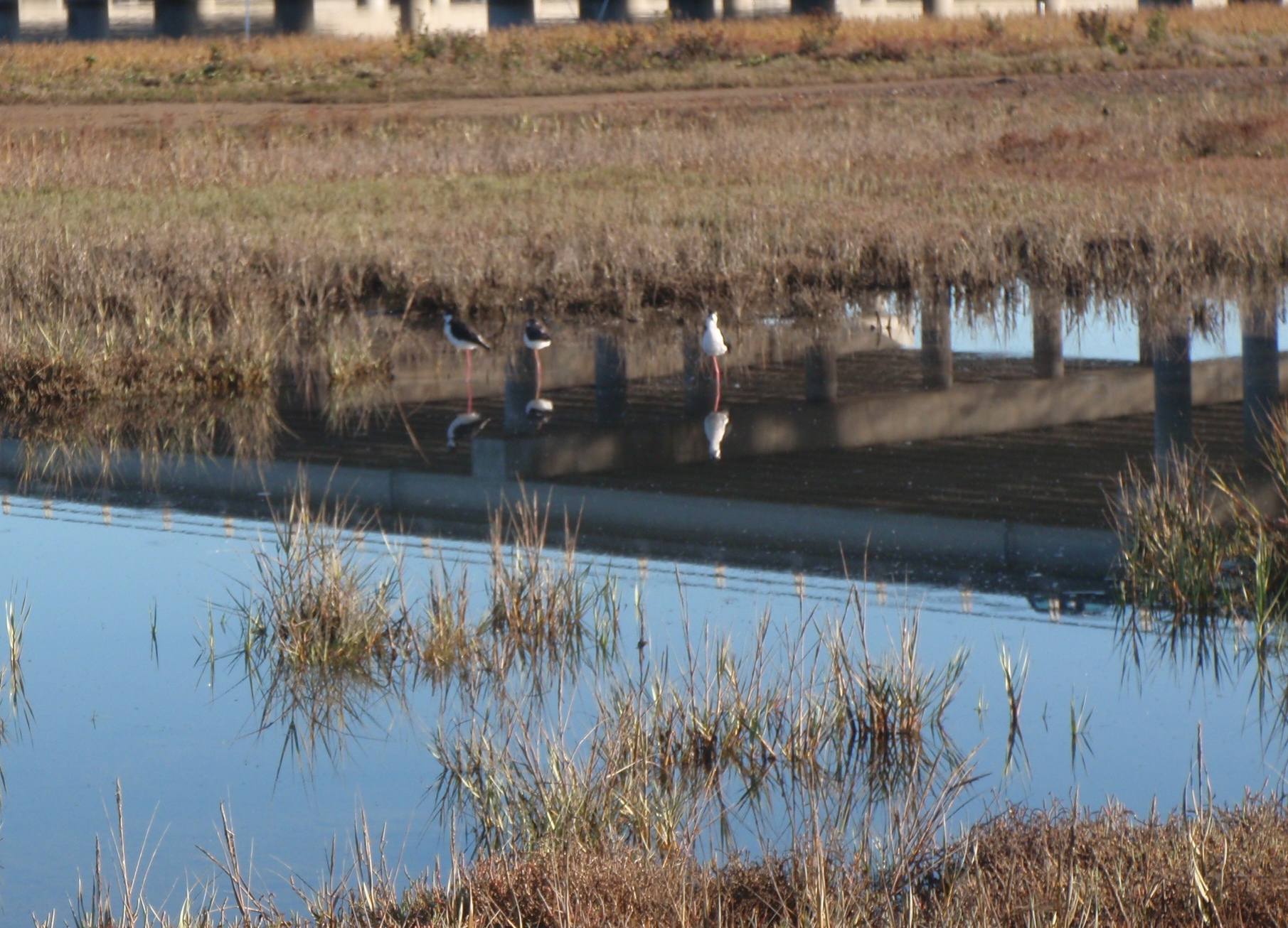 Shorebirds in the wetlands of San Francisco Bay