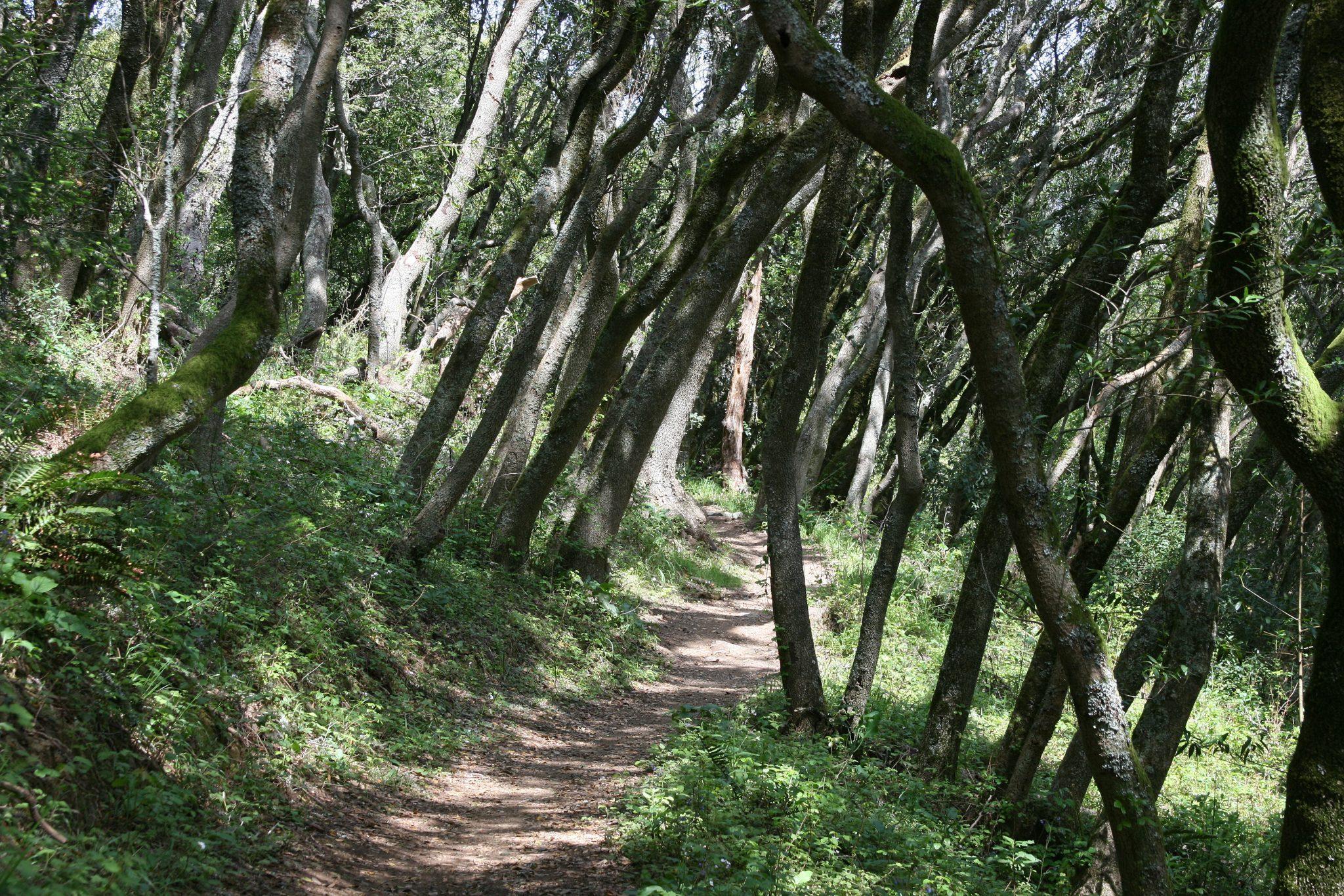 A tree tunnel on the Coastal Trail on Mount Tamalpais