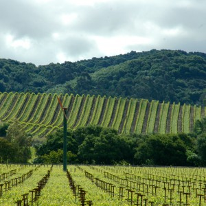Kenwood vineyards in spring in the Sonoma Wine Country