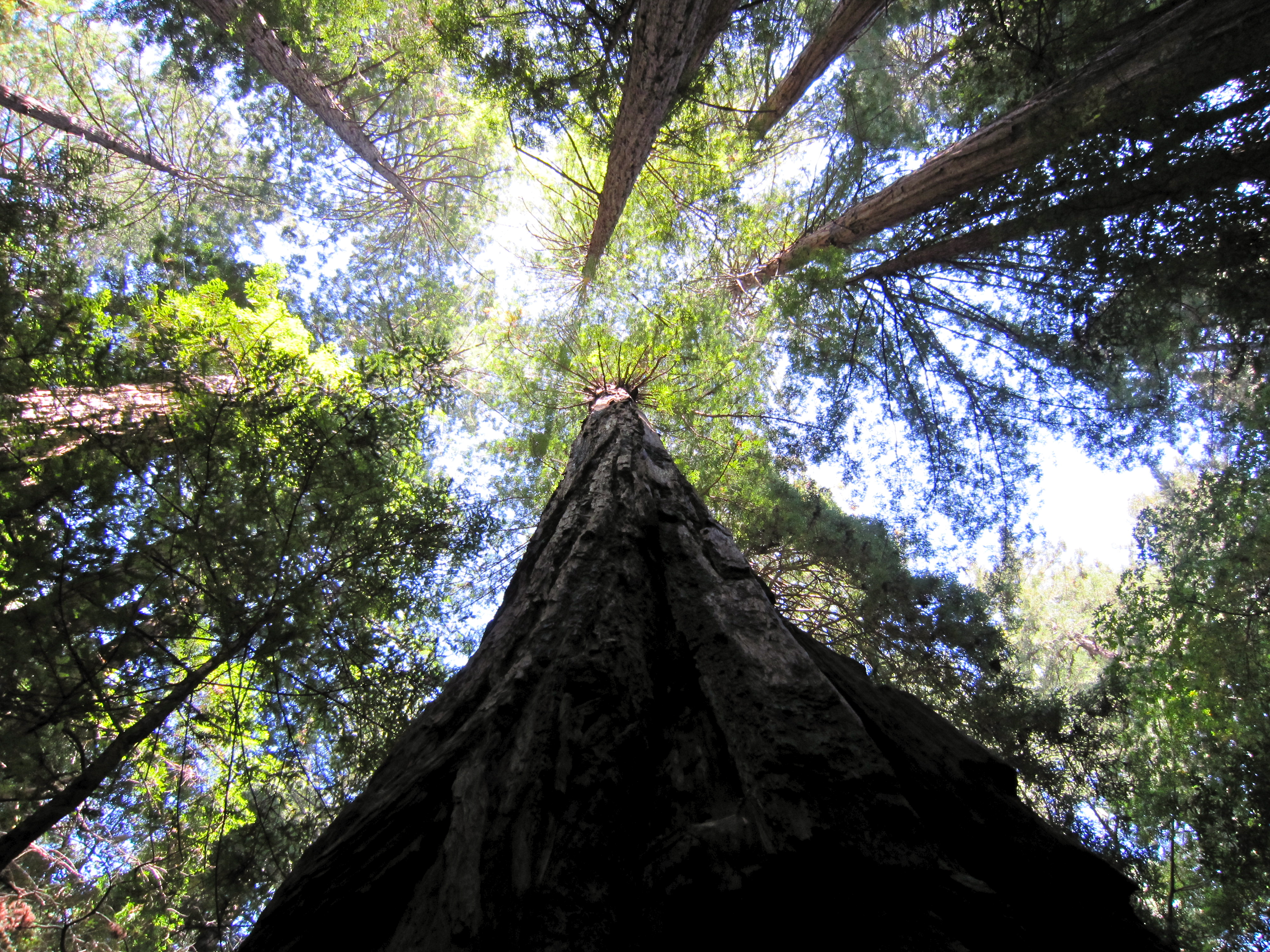 Looking up at massive redwoods in Muir Woods