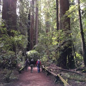 Armstrong Woods redwood forest near Healdsburg