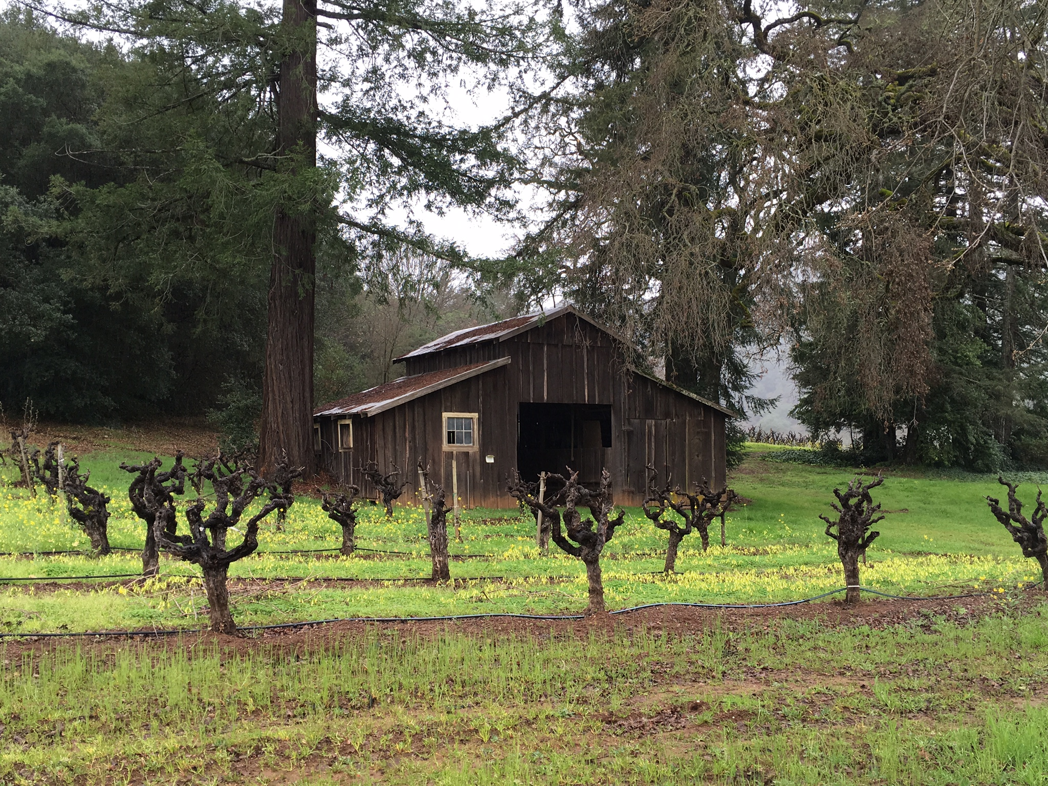 Old barn in Vineyard near Healdsburg